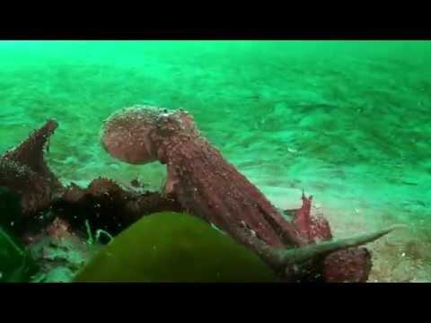 Octopus Beauty, Ocean Animal, Octopus Ride HD
