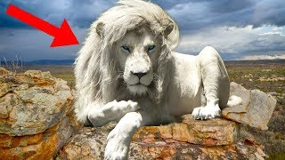 8 Most UNIQUE Lions Around The World!