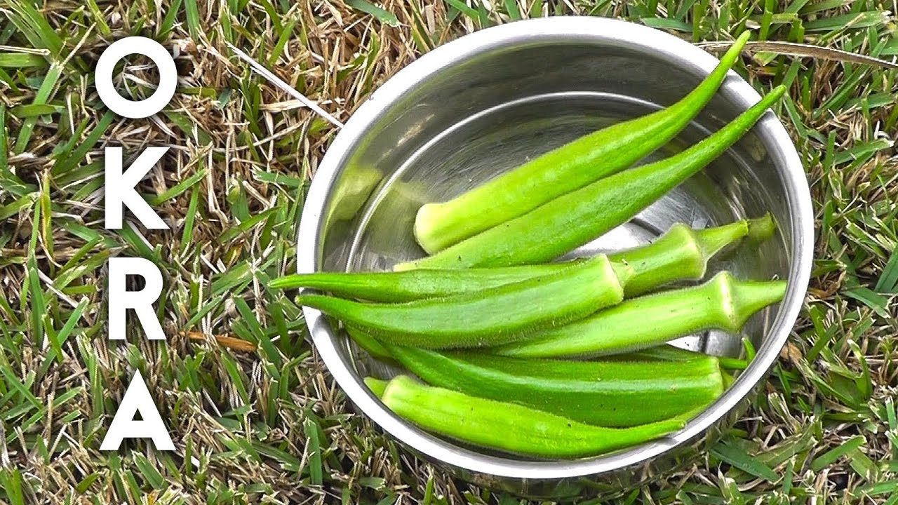 How To Grow And Harvest Okra Gumbo Or Las Finger Plus Recipe