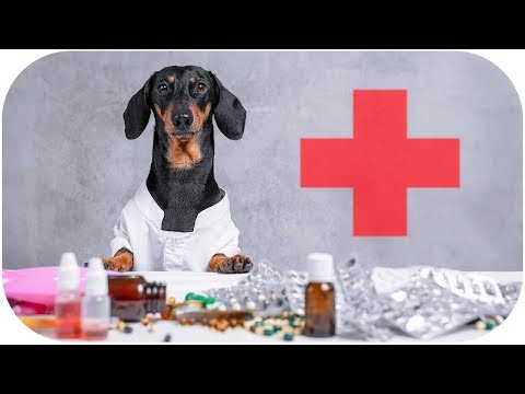 Сutest Dog-tor EVER! Cute & funny dachshund dog video!