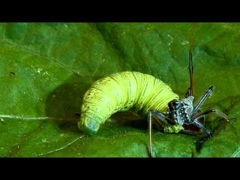 Wheel bug (assassin bug) vs. silver-spotted skipper caterpillar