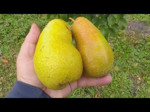 Груша сорт зимний Амфора( Pear Amfora)