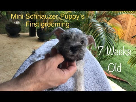 Felicity gets her first grooming - 7 week old Mini Schnauzer puppy