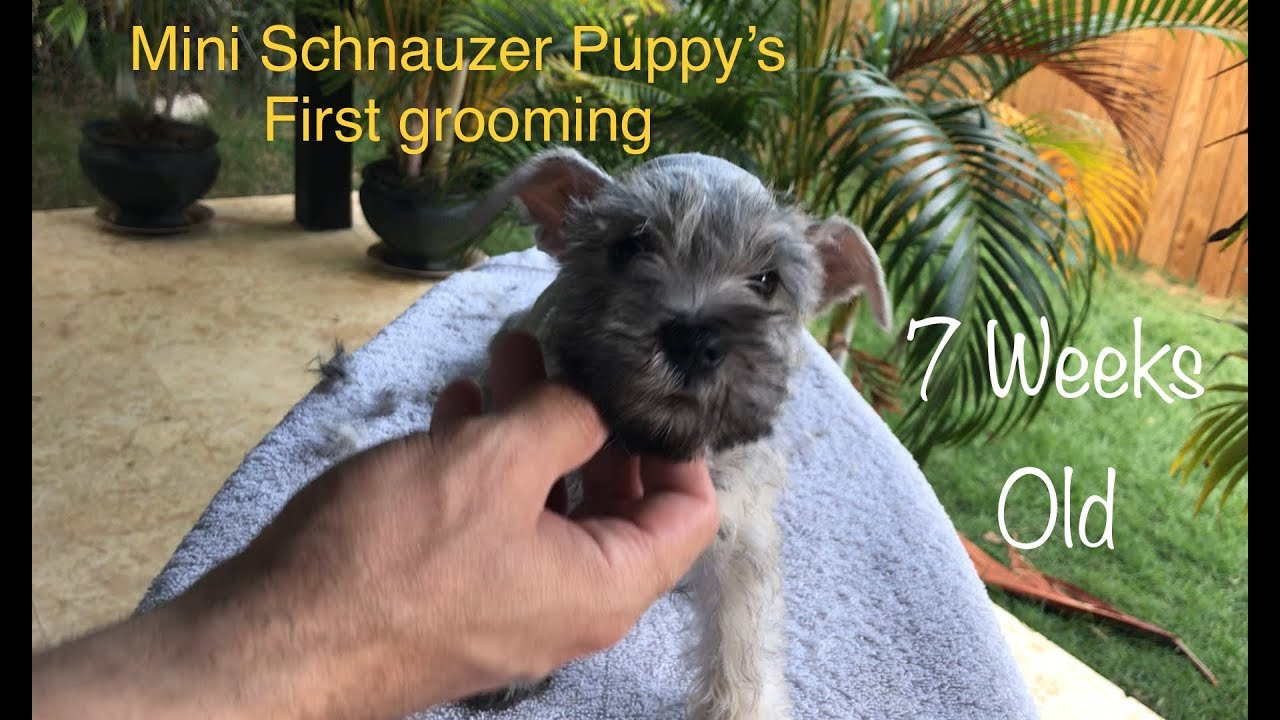 7 Week Old Mini Schnauzer Puppy
