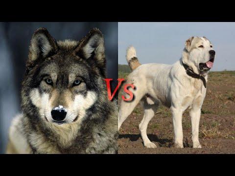 Алабай против Волка! КТО СИЛЬНЕЕ? Alabay VS Wolf! WHO IS STRONGER?