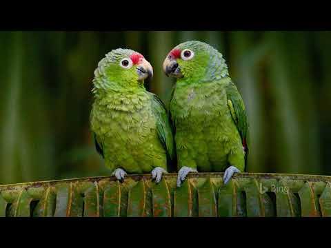 Картинка птицы. Клюв, попугай, Эквадор, Краснолобый Амазон, попугаи, red-lored, bing, JPEG.