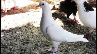 Могут ли в жару голуби показывать хороший результат по лету???