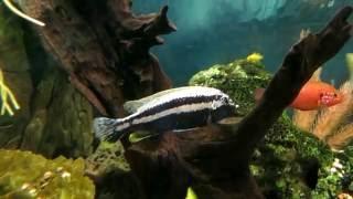 видео Меланохромис майнгано