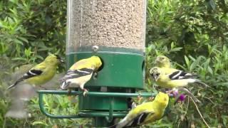 Finch Food Fights Slo Mo FYV