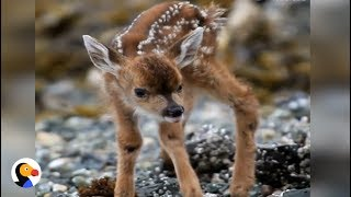 Newborn Fawn Takes First Steps | The Dodo