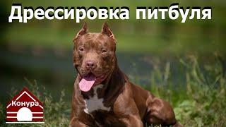 Дрессировка щенка питбуля Шторм