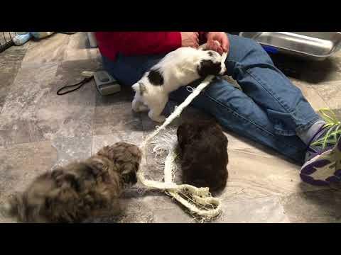 Fiona's & Pandora's schnoodle puppies 12-12-17