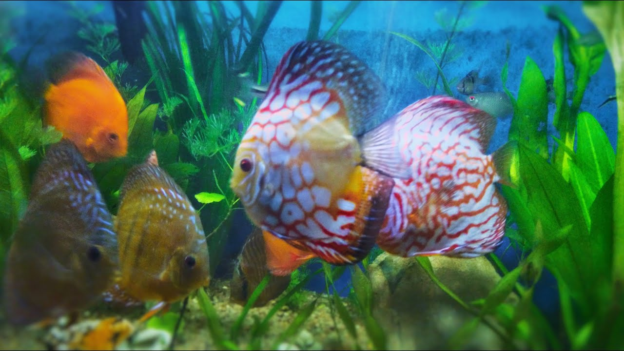 discus fish aquarium fish tank youtube. Black Bedroom Furniture Sets. Home Design Ideas