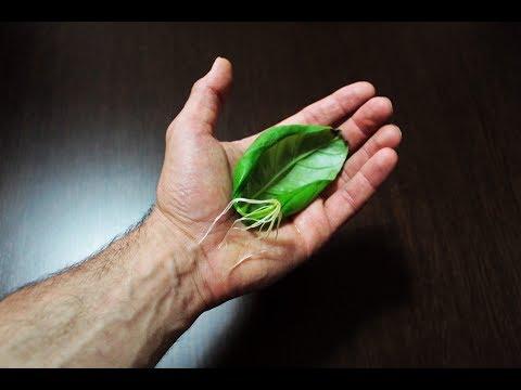 eccezionale metodo per riprodurre il basilico, riprodurre il basilico da foglia, senza semi o talea