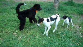 Frisco Dog Training | Durango - Portuguese Water Dog | Redeeming Dogs | Tod Mcvicker - Dog Trainer