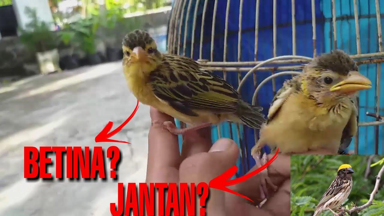 Cara Membedakan Jenis Kelamin Burung Manyar Kembang Anakan Youtube
