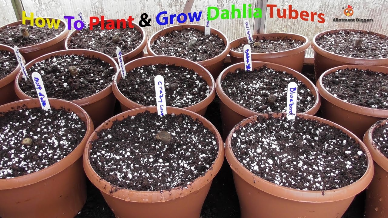 How To Start Dahlia Rs In Pots