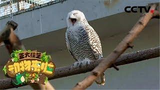[正大综艺·动物来啦]雪鸮可以消化猎物的哪个部分| CCTV
