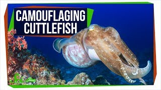 Colorfully Camouflaging Cuttlefish Are Colorblind