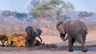 母親の象は15匹のライオンの攻撃から彼女の赤ちゃんを守る.