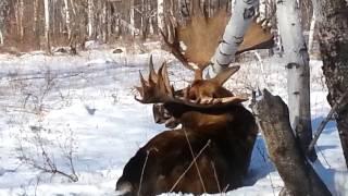 Охота на лося на Камчатке видео