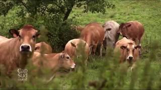 Cap Sud-Ouest - Les vaches parthenaises