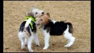 Wire Fox Terrier DUFFY She is 9 今年最後のワイヤ集会に行ってきまし...