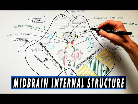 Midbrain | Cross section | Internal structure - Neuroanatomy Tutorial