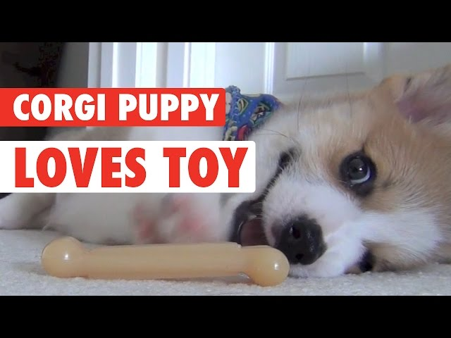 Corgi Puppy Love His Toy -- What A Silly!