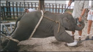 Xót xa bé voi mồ côi bị kẻ săn trộm h.à.n.h h.ạ đến c.h.ế.t