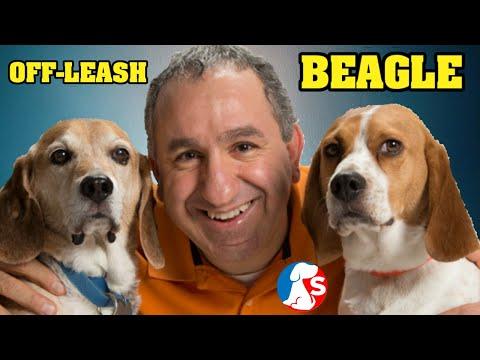 How to train a beagle to walk off leash