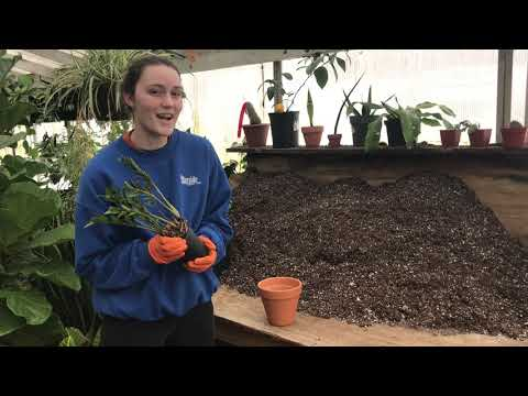 Repotting Plants - ZZ Plant