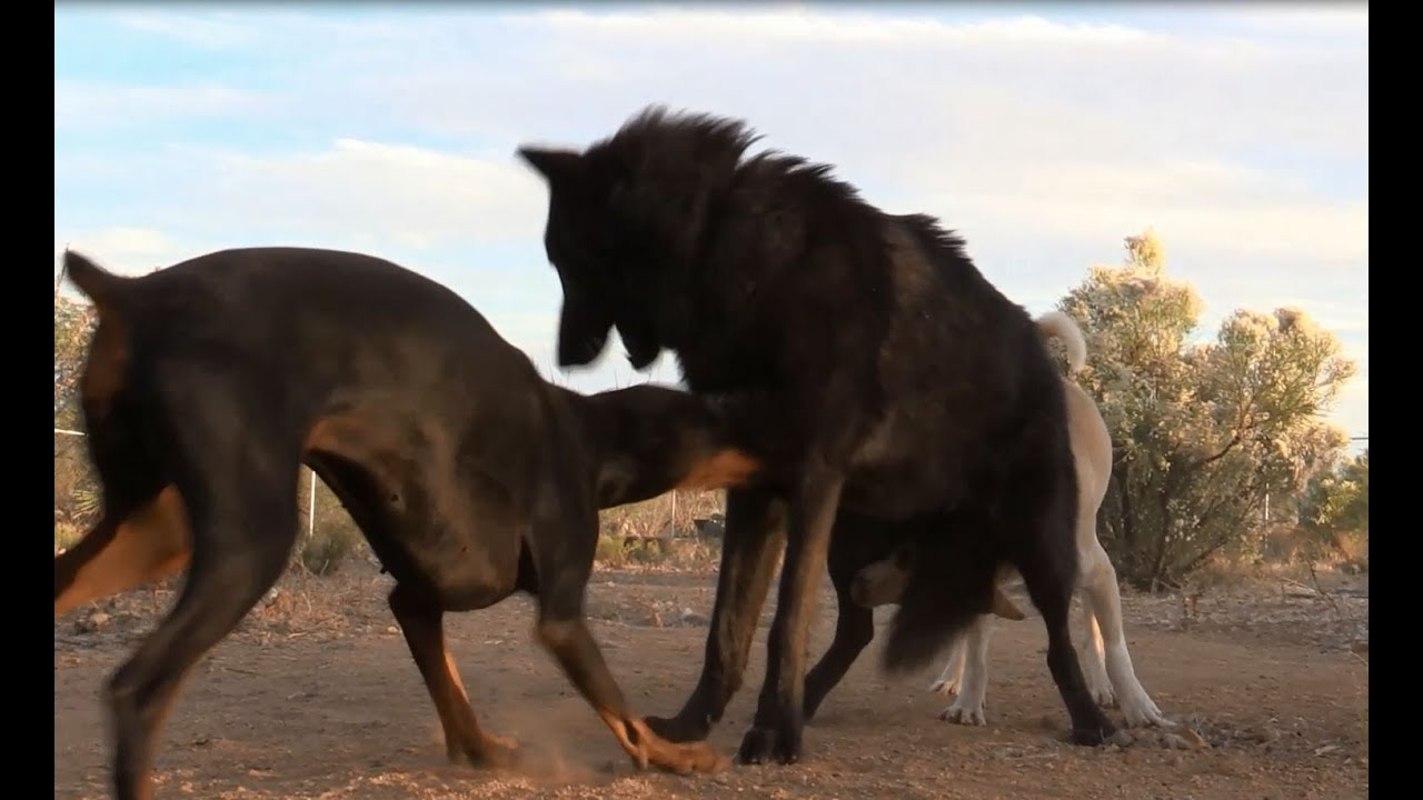 Doberman Doesn't Back Down From Wolf - Watch what happens