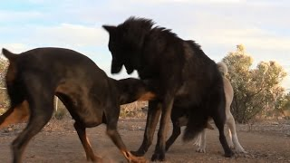Doberman Doesn't Back Down From Wolf - Watch what happens thumbnail