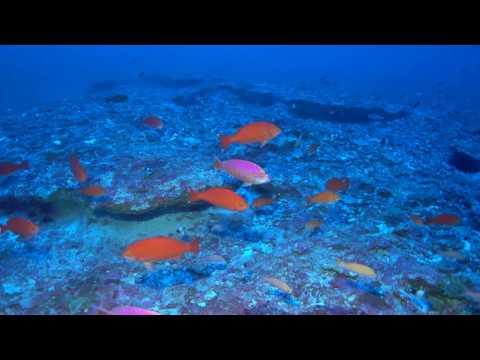 Tosanoides obama habitat (4K)