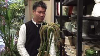 紐サボテンの接ぎ木の育て方