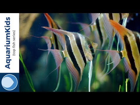 THE TOP 5 TANK MATES FOR FRESHWATER ANGELFISH (4K UHD)
