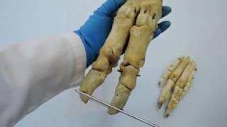 видеозанятие 11 «Строение и видовые особенности запястья, пясти и пальцев кисти»