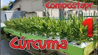 Como crecer Curcuma / Tumeric en el Huerto 1/2