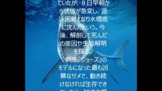 本部町の沖縄美ら海水族館で5日から展示されていたホホジロザメが8日...