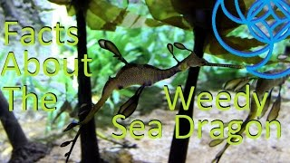 Facts about the Weedy Sea Dragon; Aqua Life Episode 12