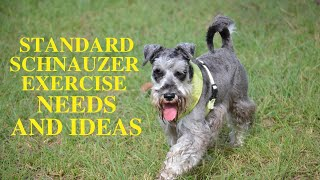 Standard schnauzer exercise [needs and ideas]