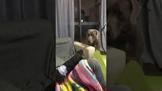 急に小型犬チワワのルイちゃんが大型犬ワイマラナーのグレに喧嘩売り出...