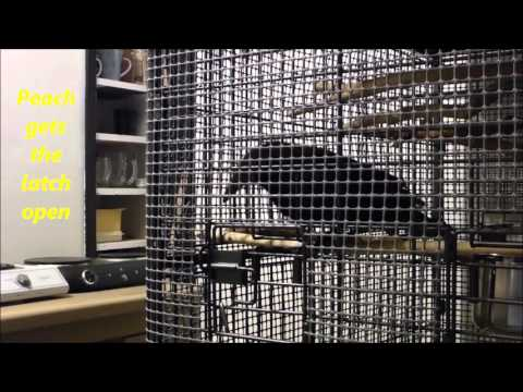 PET CROW OPENS HIS DOOR