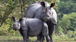 В маленьком заповеднике в Индии - носорожий «бум»