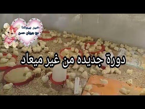 مكنتش عاوزه أجيب كتاكيت دولوقتي بس النصيب تعالوا شوفوها معاي
