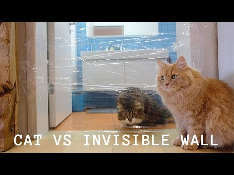 Siberian cats and the invisible wall challenge