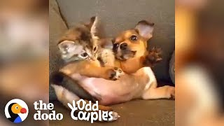 These Cats Are Dog People   The Dodo Odd Couples