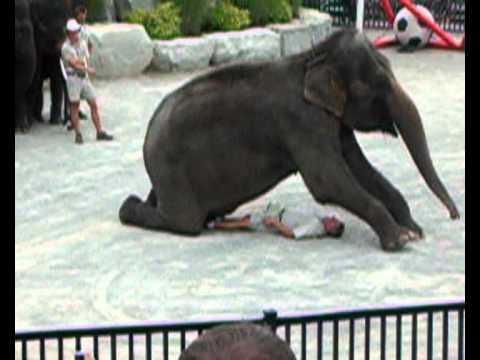 elephant sitting on a man   youtube