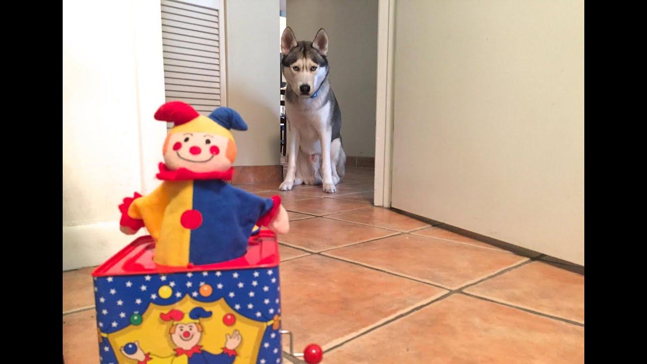 Husky Dislikes Jack in the Box! (LOL)